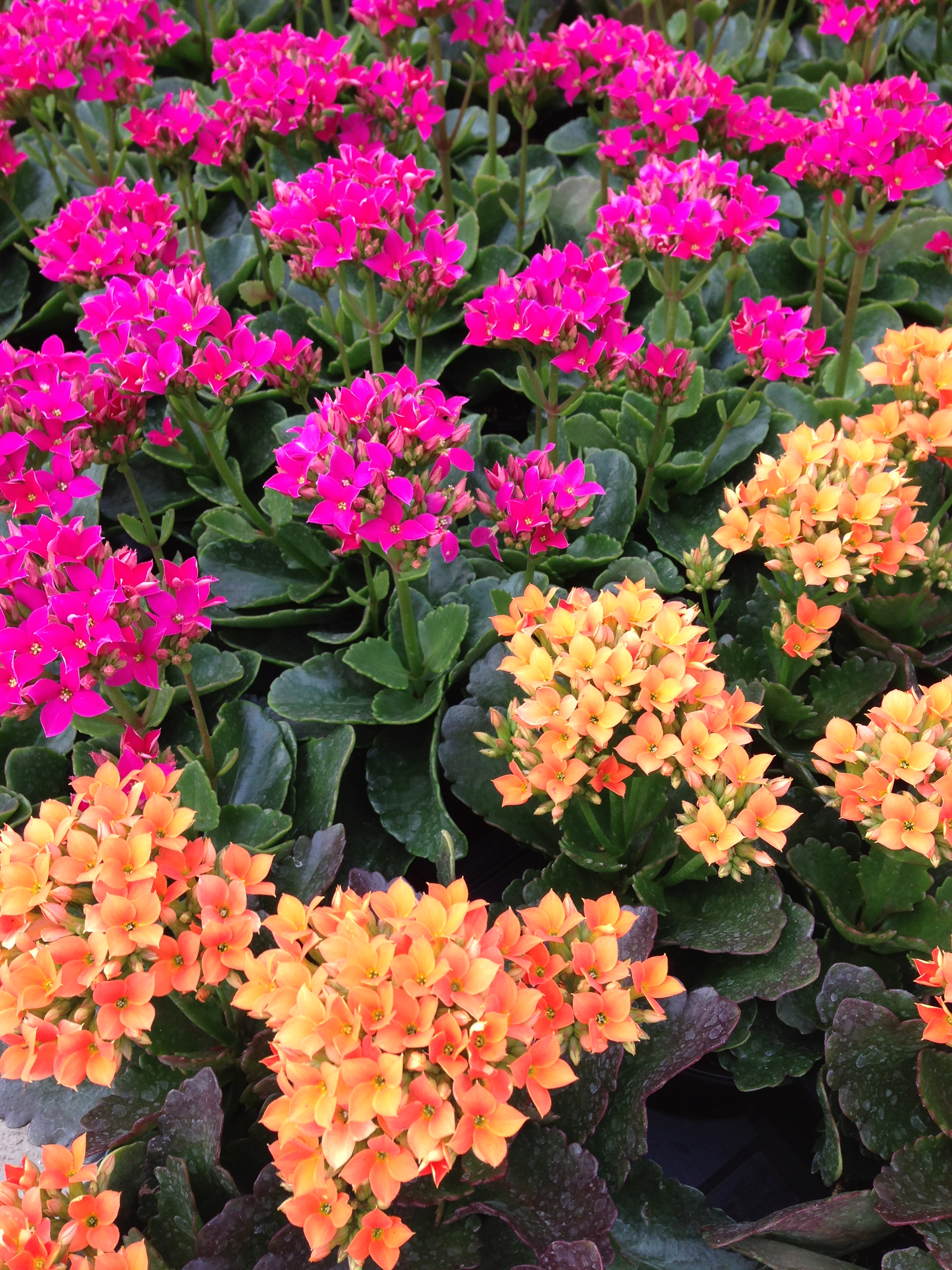 Winter, Spring, Kalanchoe