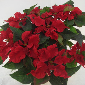 "The Dark Red Carousel Poinsettia has dark red, curled bracts with wavy edges and dark green leaves.  Available in 4.5"" and 6.5"" pots."