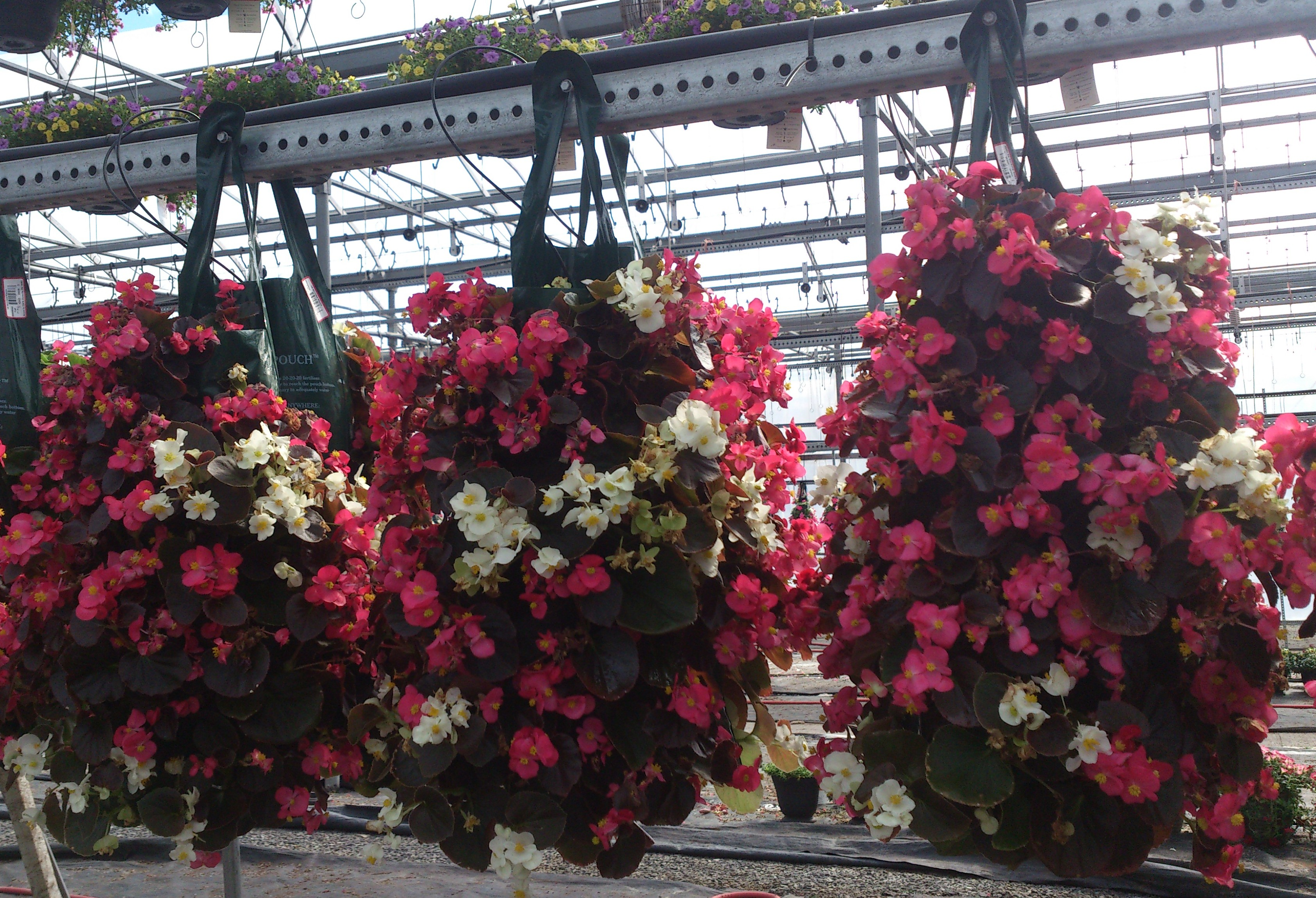 Begonia Bag of Blooms, hanging bag