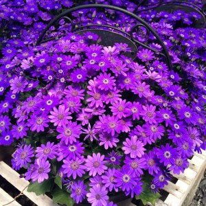 Cineraria, Senetti, Planter, Welcome Home