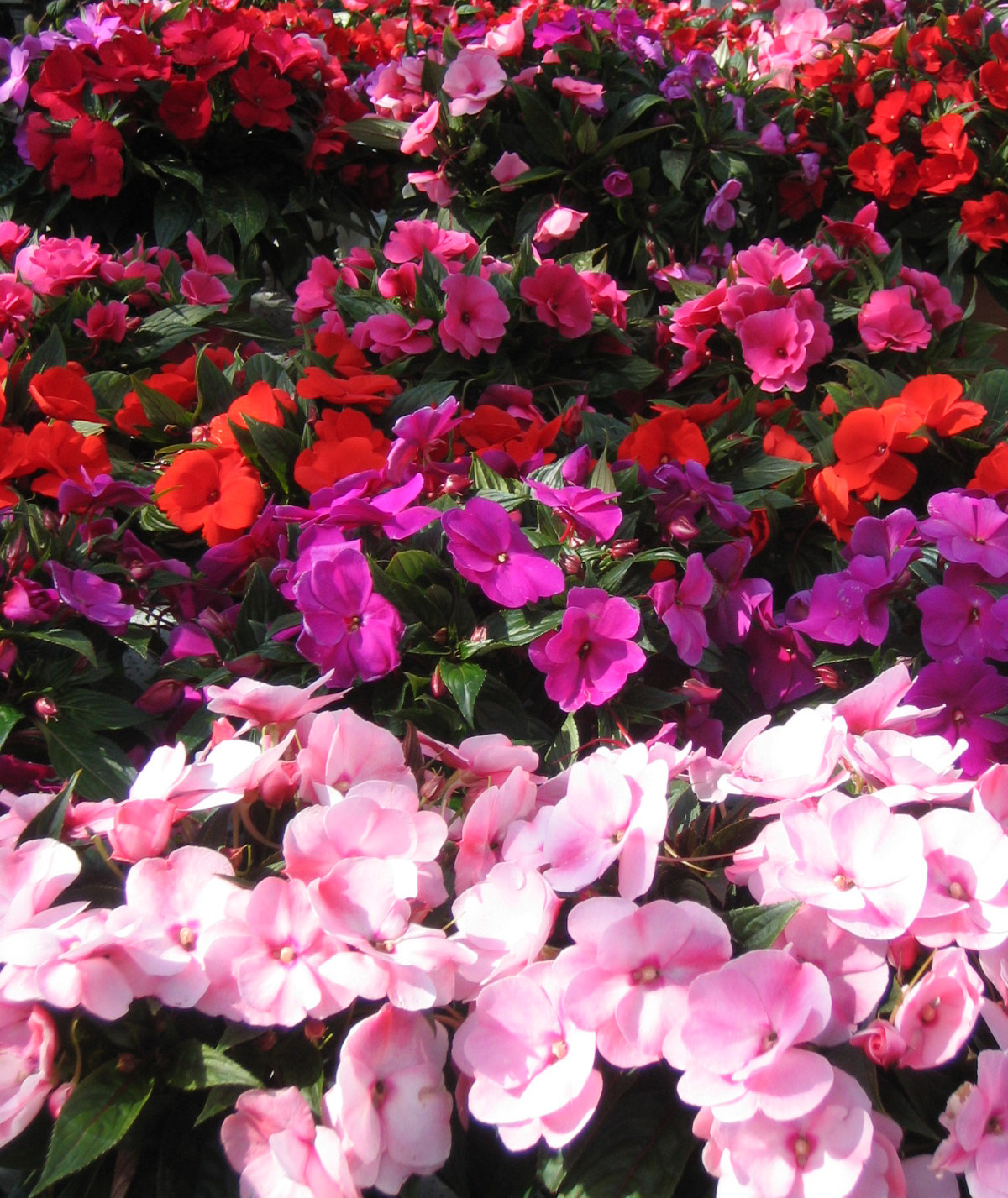 Annuals for New guinea impatiens