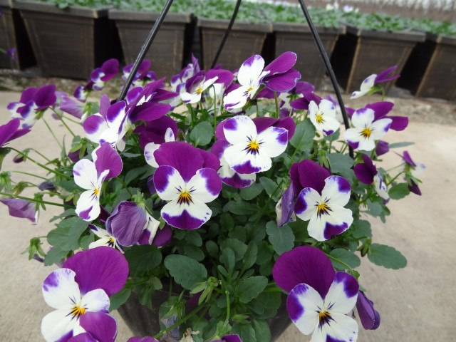 Trailing Pansy Hanging Basket