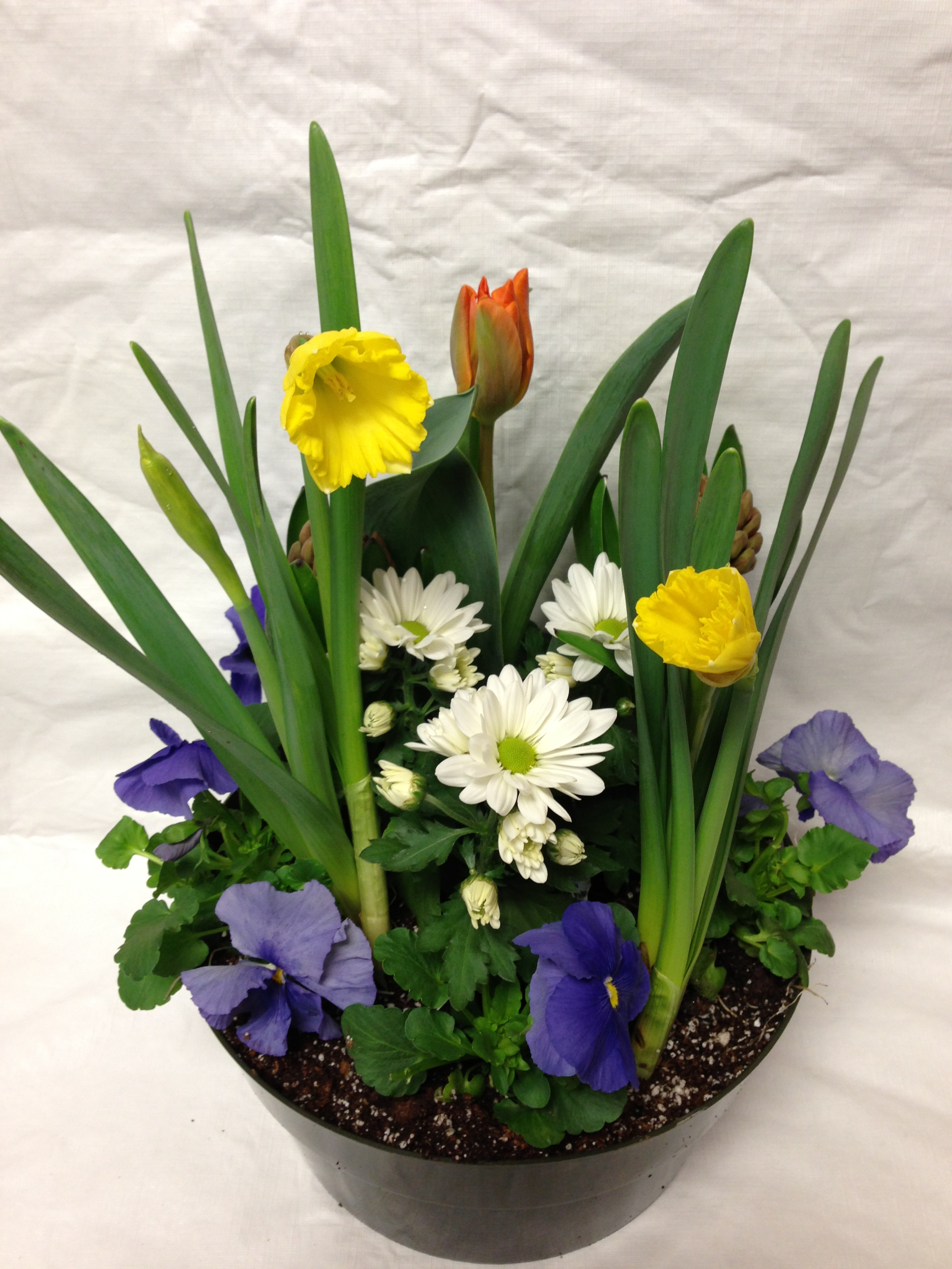 easter, combination, pansies, bulbs
