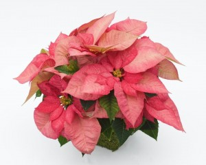 "The Monet Early Poinsettia has multicolored bracts in shades of a rosy pink.  Available in 4.5"" and 6"" pots."