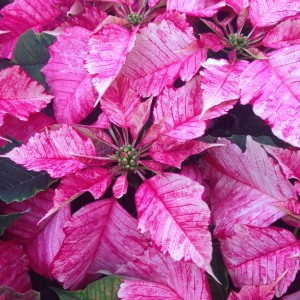 "The Ruby Frost Poinsettia has variegated red and white oak-shaped bracts.  Available in 4.5"" pots and 6.5"" pots."
