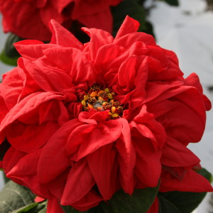 "The Winter Rose Poinsettia is know for its large, rose-like blooms. Some people refer to it as a Christmas Rose.   Available in 6.5"" pots."