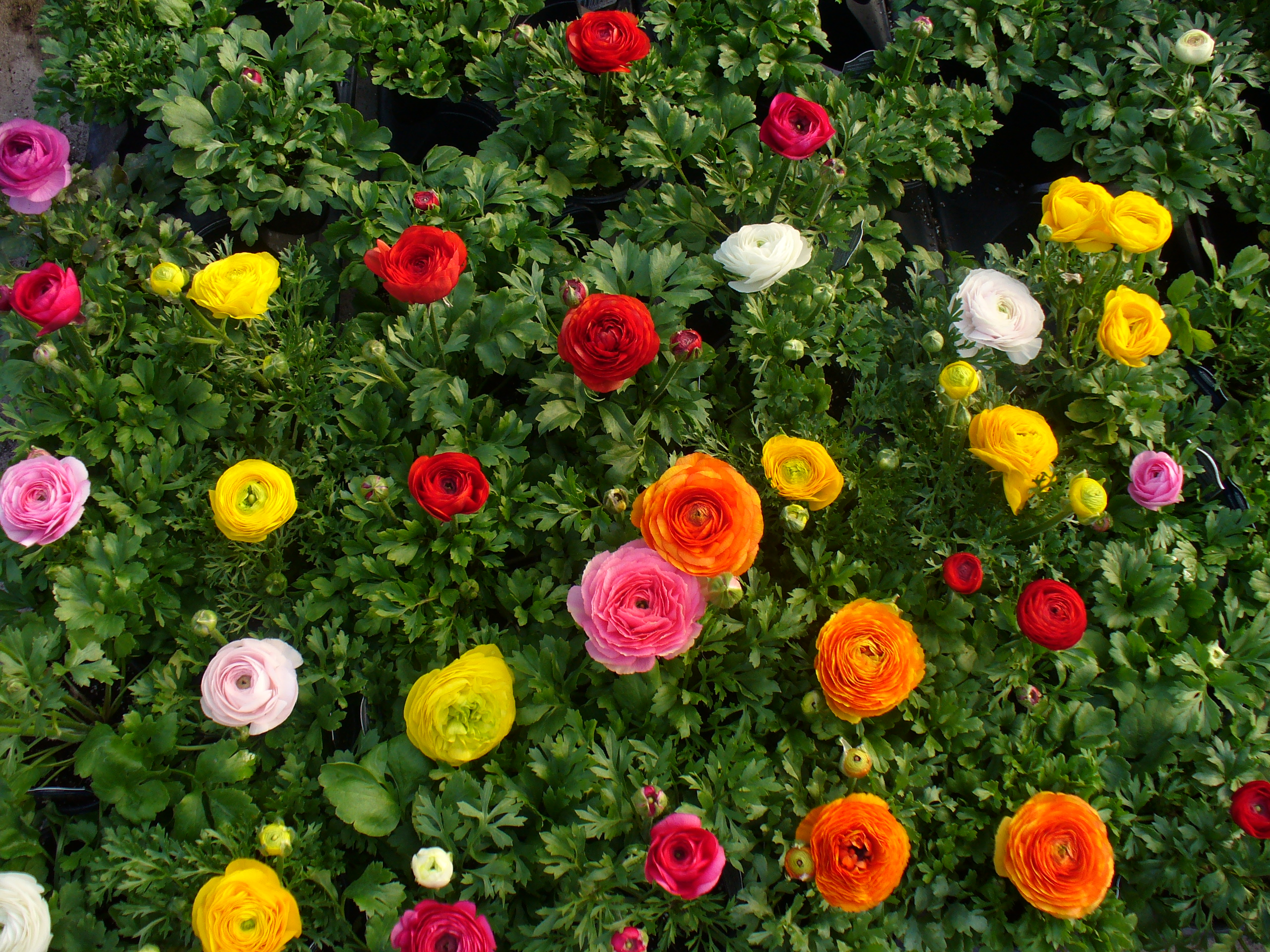 Ranunculus, winter, spring