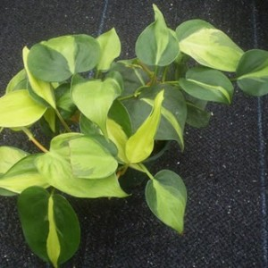 Philodendron Brasil, Philodendron , foliage