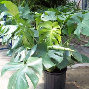 Philodendron, pertussum, foliage