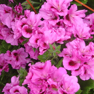 Martha Washington Geranium, Hanging Basket, Martha Washington, MW, Geranium