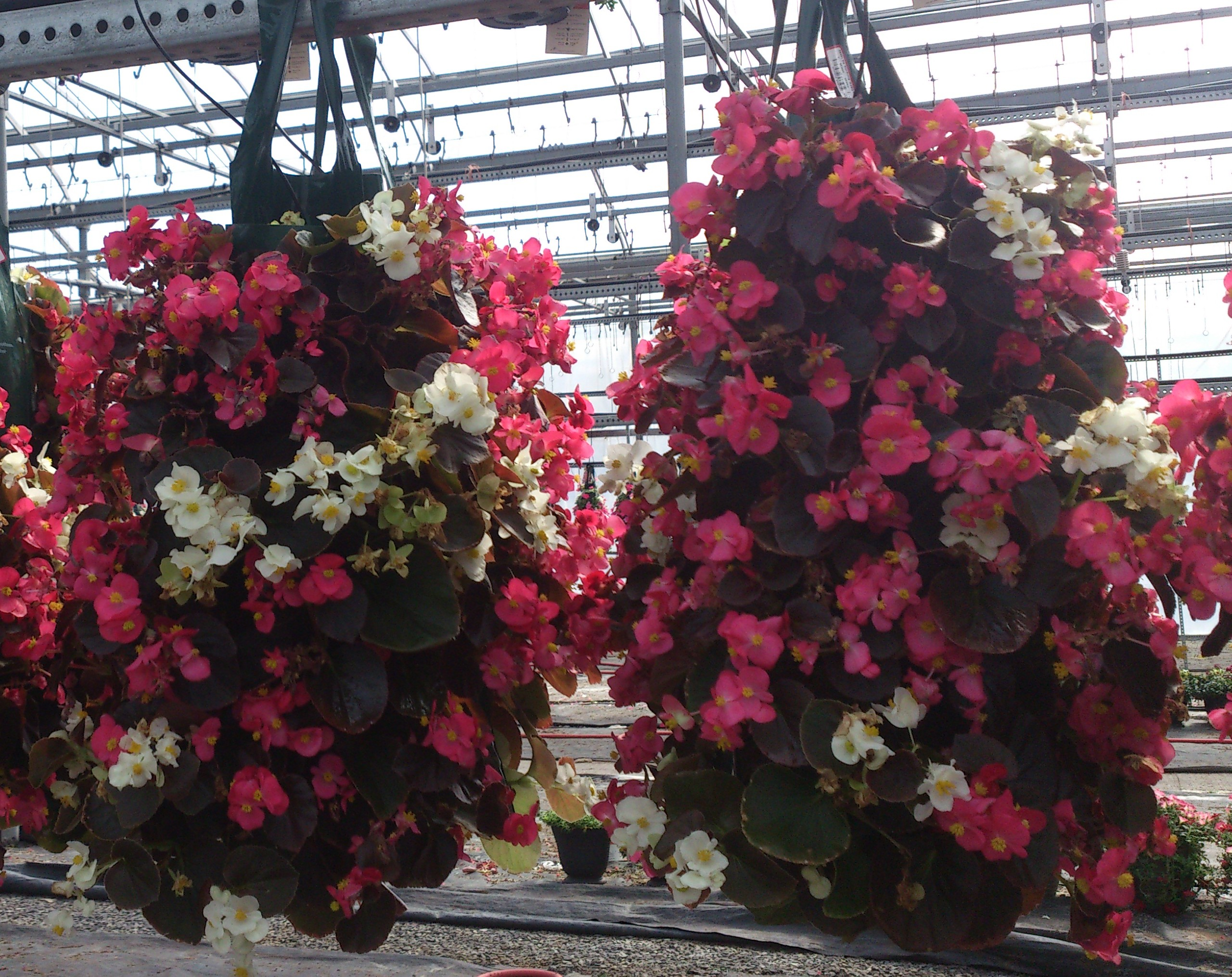 Begonia, Bag of Blooms