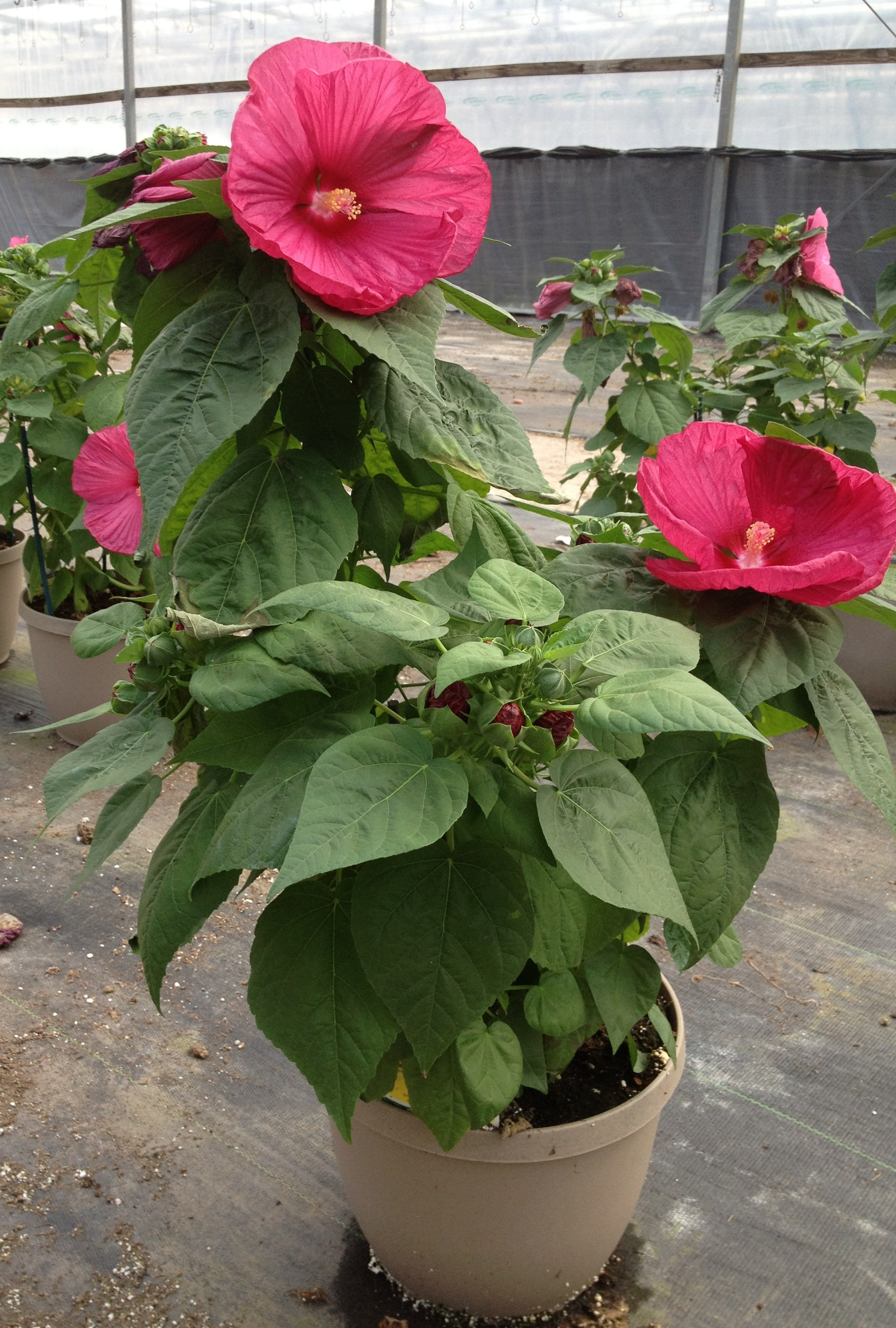 Hardy Hibiscus, planter, summer