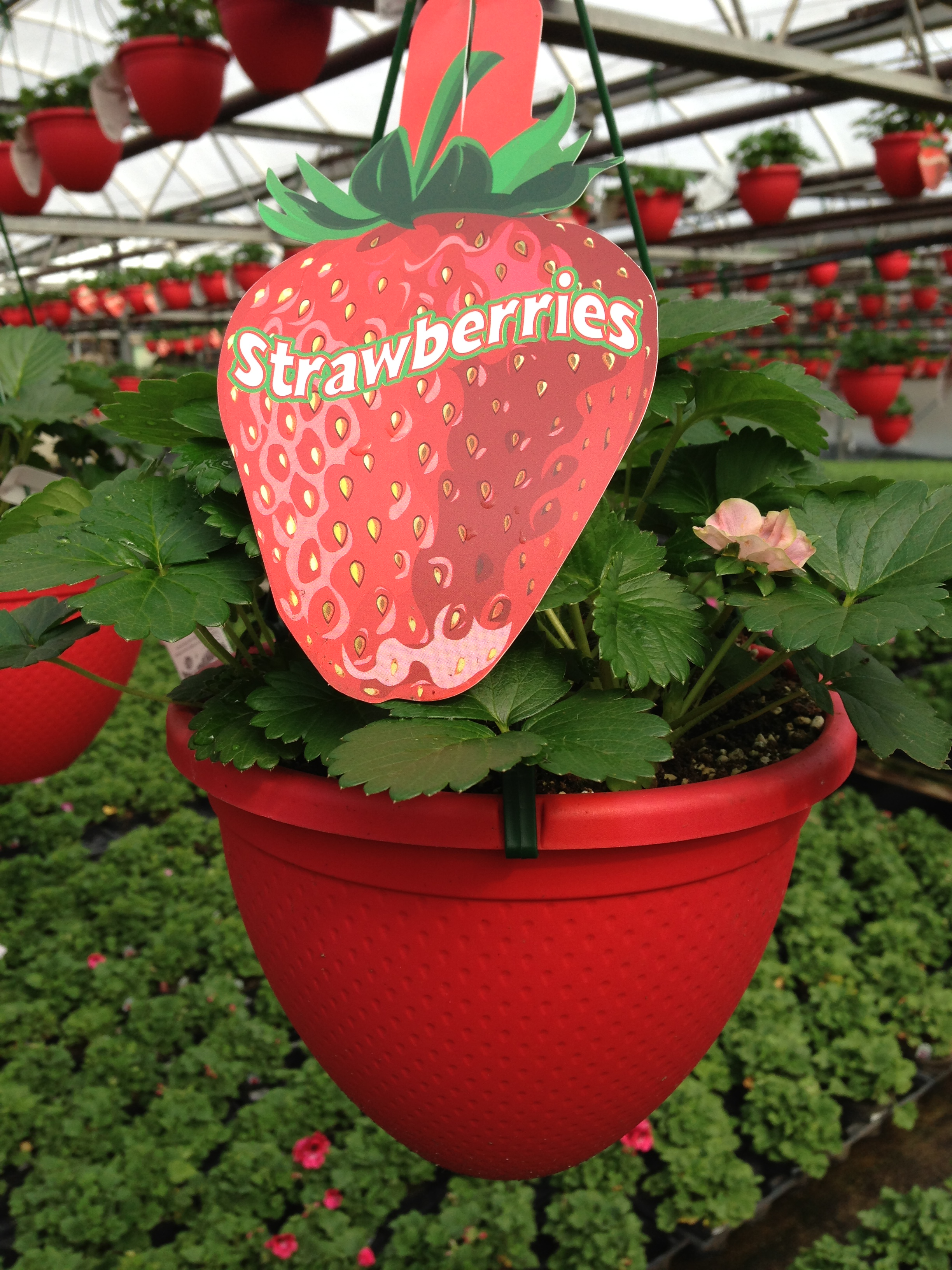 Strawberry Hanging basket, hanging basket, Strawberries
