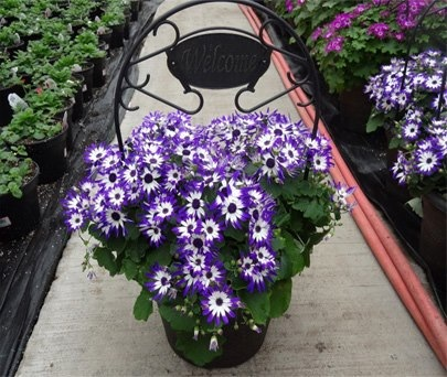 Senetti, cineraria, planter, welcome
