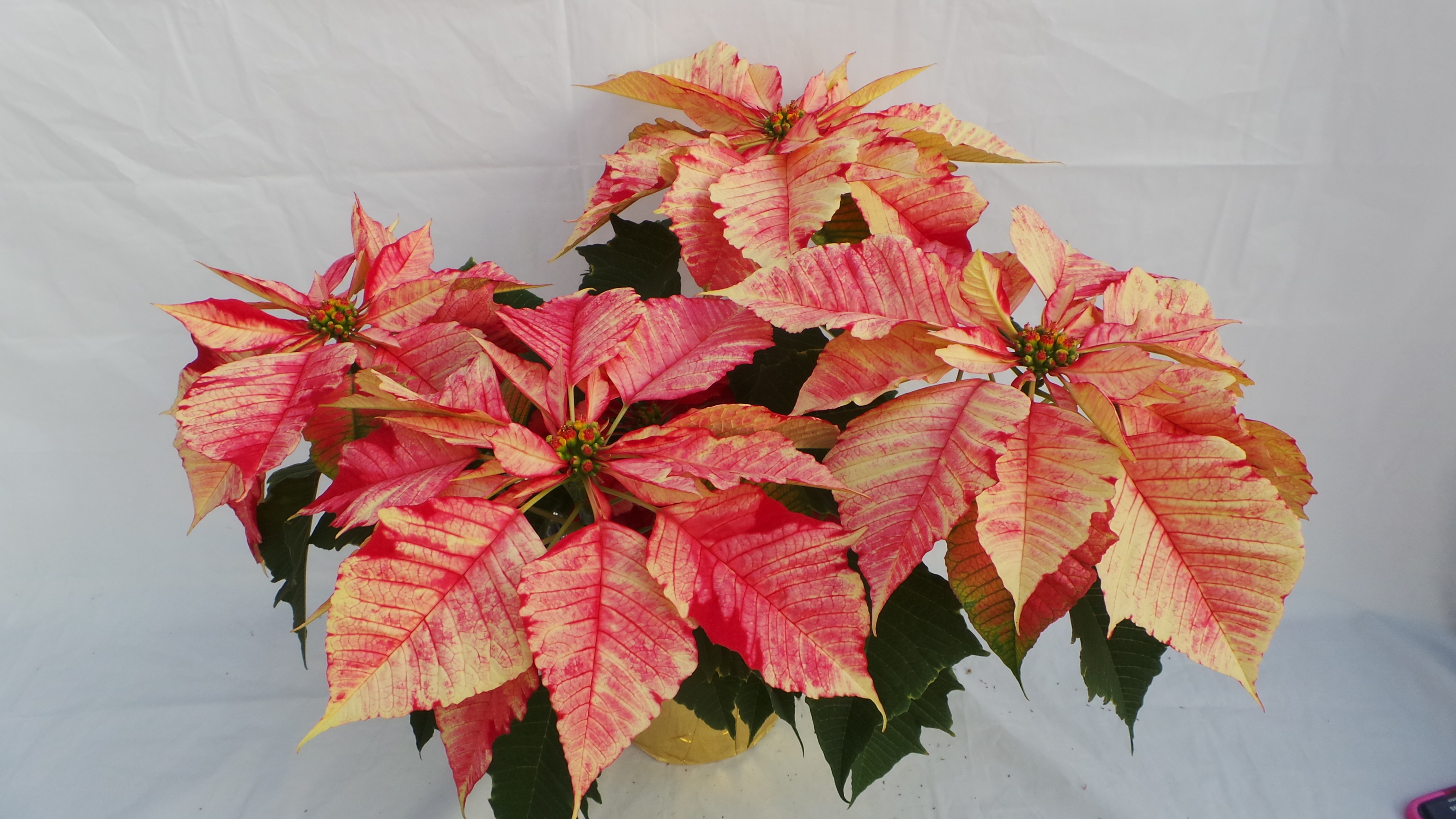 ruby frost, poinsettia, unique poinsettia