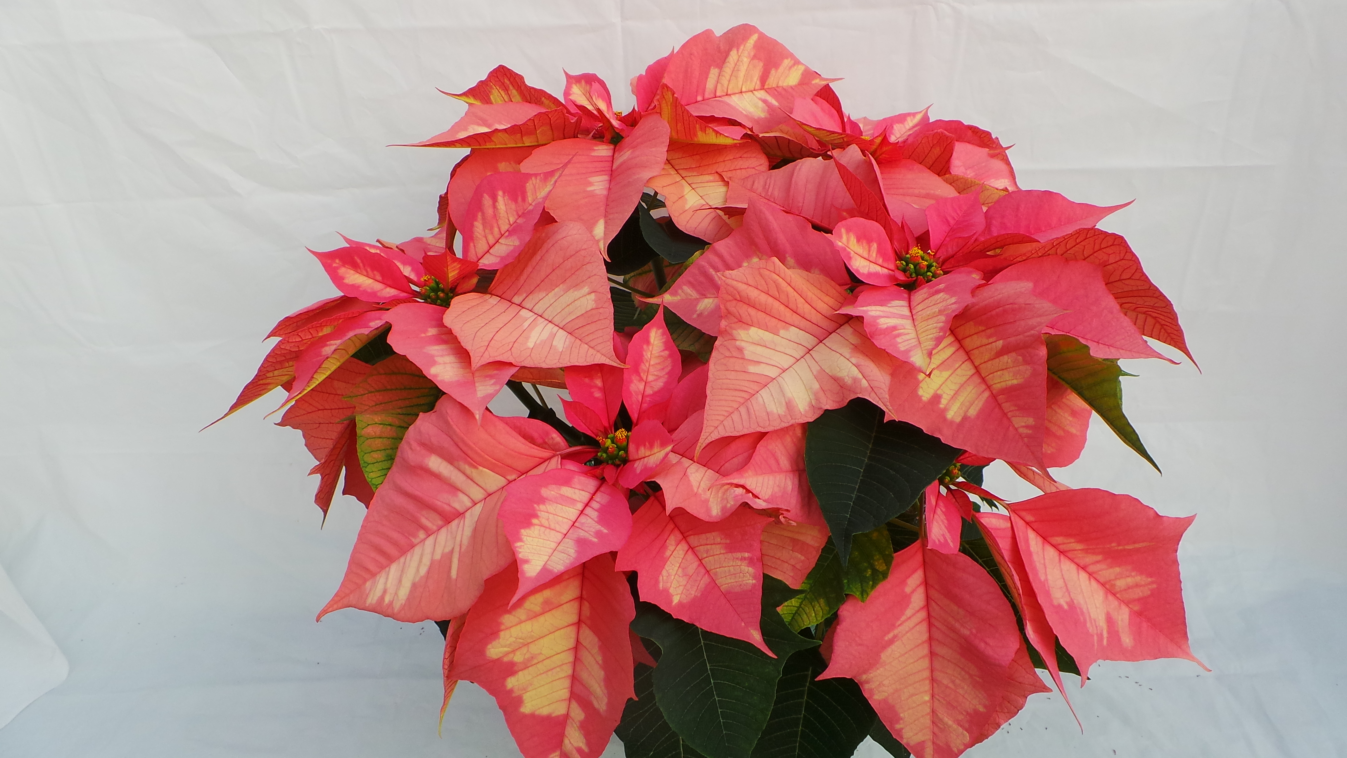 Unique Poinsettias